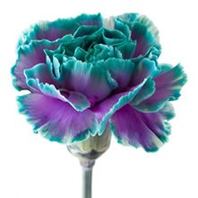Carnations Dyed