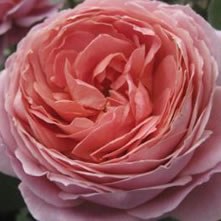 Pre-Order Colombian Garden Roses