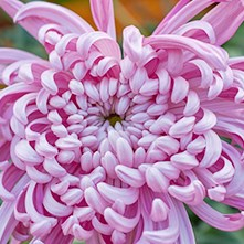 Chrysanthemum Blooms