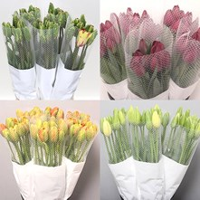 Tulips - French Extra Grade