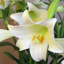Lilies Longiflorum