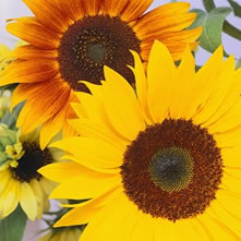 Sunflowers (Helianthus)