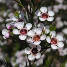 Waxflower (Chamelaucium)