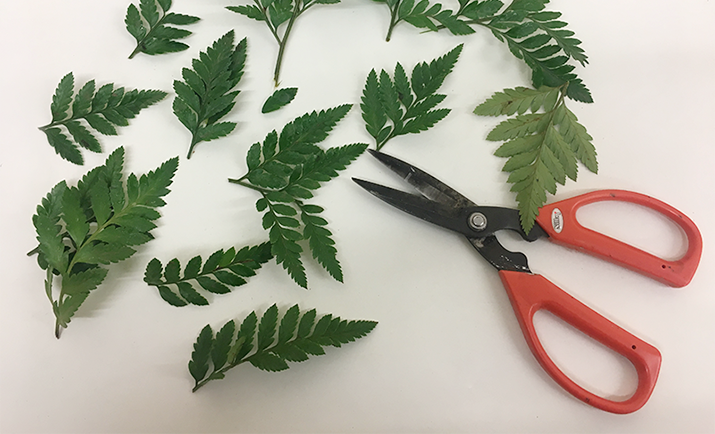 Start by creating the base, by using foliage of choice. Here, we have chosen to base the wreath with Leatherleaf and Hard Ruscus. Start by cutting the leatherleaf into smaller pieces (as shown in the photograph).