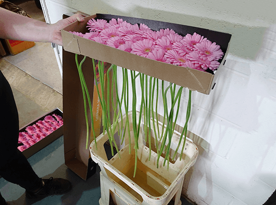 Fill sterilised buckets with water and add flower food. Place the gerbera in the buckets upright with the heads supported. Leave overnight to condition before using.