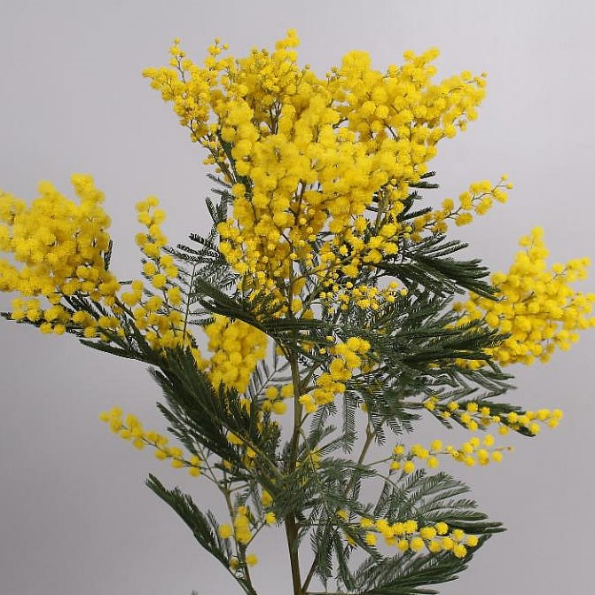 Севастополь доставка цветов мимоза