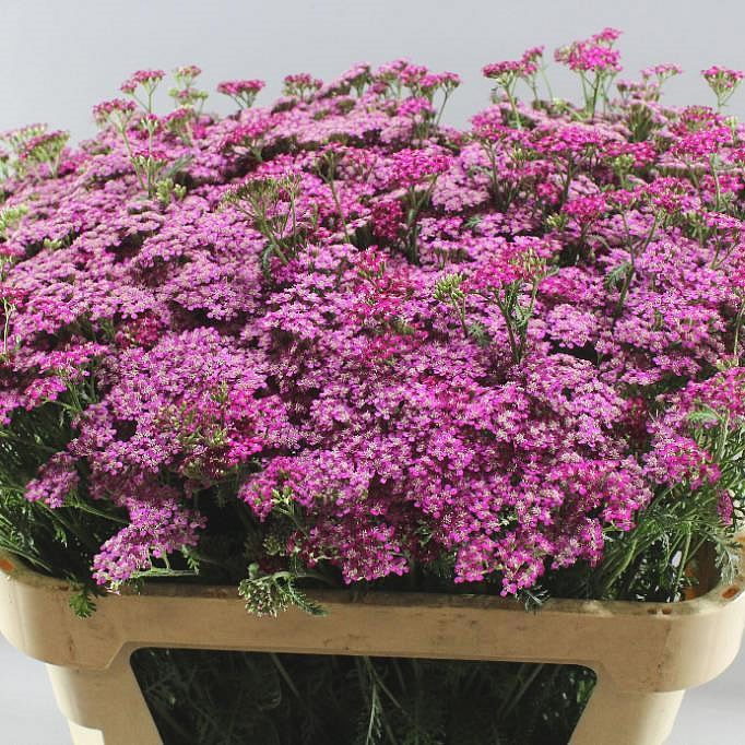 ACHILLEA DEEP PURPLE