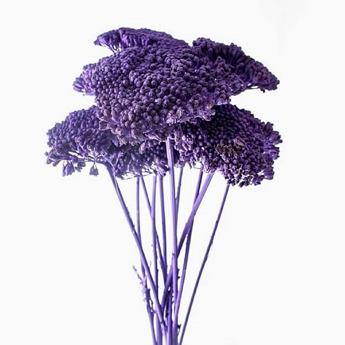 ACHILLEA PURPLE - DRIED