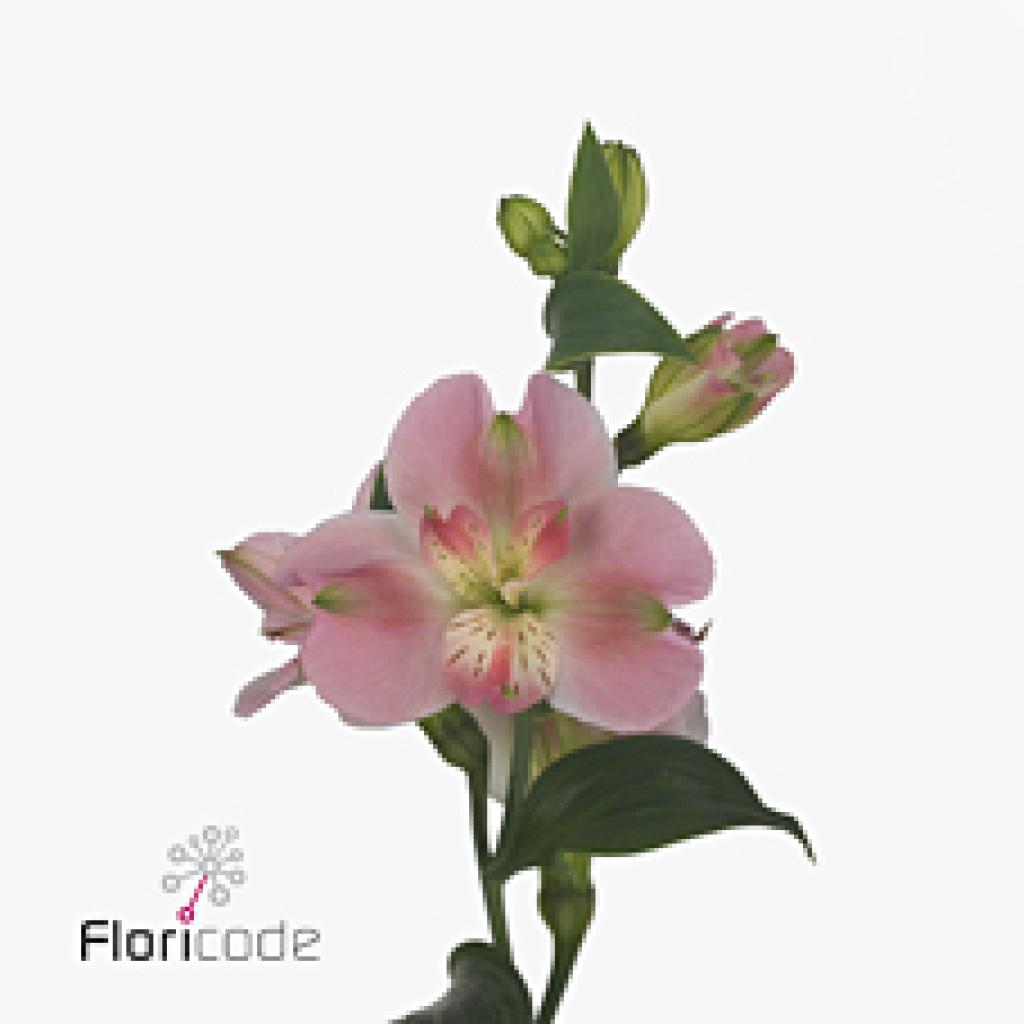 ALSTROEMERIA SPRAY CHARMELIA BRIDESMAID 70cm