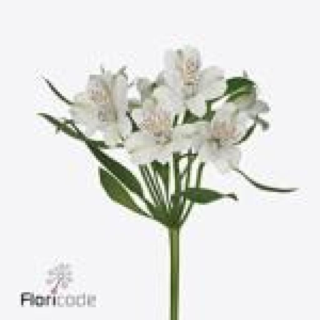 Alstroemeria white pearl 80cm wholesale dutch flowers florist alstroemeria white pearl mightylinksfo