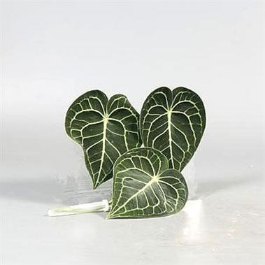 ANTHURIUM CLARINERVI LEAVES