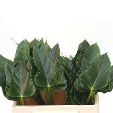 ANTHURIUM EXCITING LOVE LEAVES