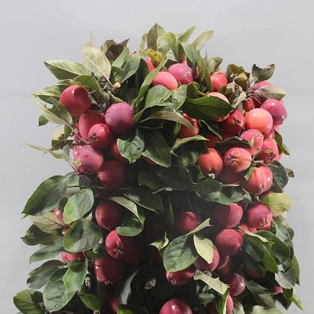 APPLE MALUS BATIST RED
