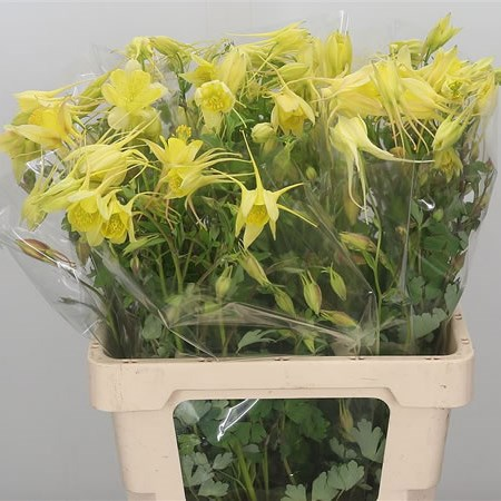 AQUILEGIA YELLOW