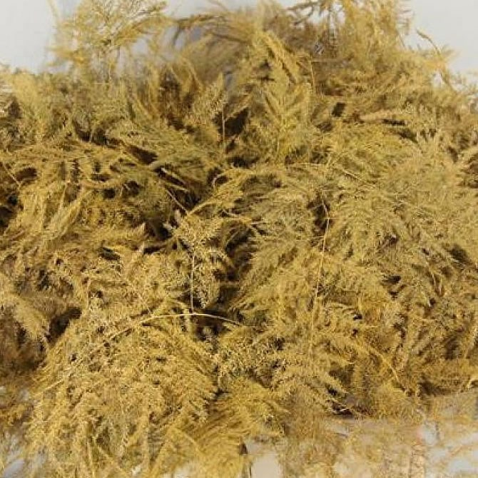ASPARAGUS FERN DYED GOLD