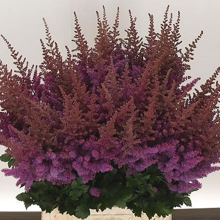 ASTILBE BLACK & BLUE