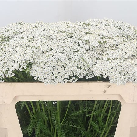 Achillea White Pure Beauty