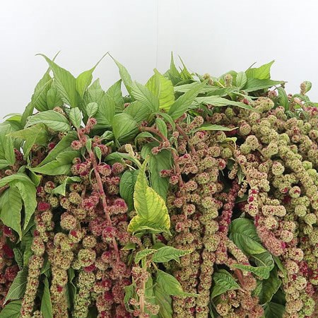 Amaranthus Caudatus Green/Red