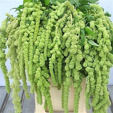 Amaranthus Cycloop