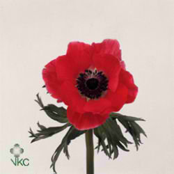 Anemone Meron Red