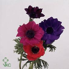 Anemone Mix (Colours May Vary to Image)