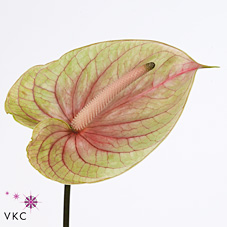 Anthurium Meander x 16