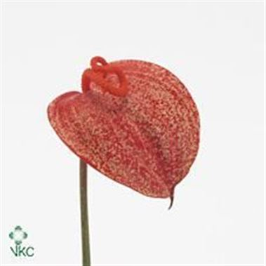 Anthurium Graffiti x 16