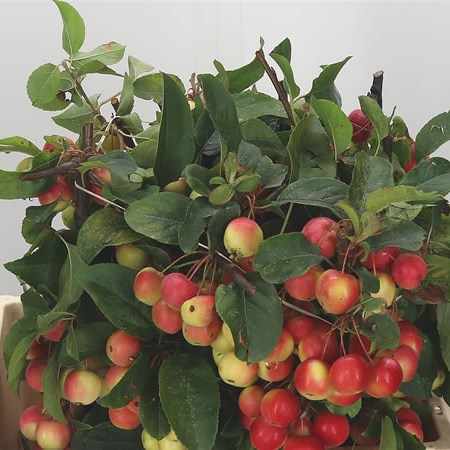 Apple Malus Red Sentinel