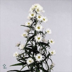 Aster whitw 70cm wholesale flowers florist supplies uk aster white 70cm mightylinksfo
