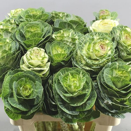 BRASSICA GREEN/WHITE