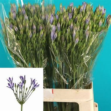 Brodea Rudy 65cm Wholesale Dutch Flowers Amp Florist Supplies Uk