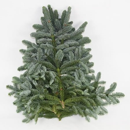 Blue Spruce 5kg (White Band Top Grade)