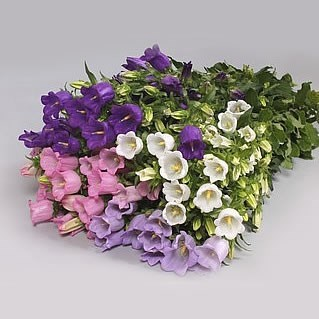 CAMPANULA MEDIUM LAMPION MIX