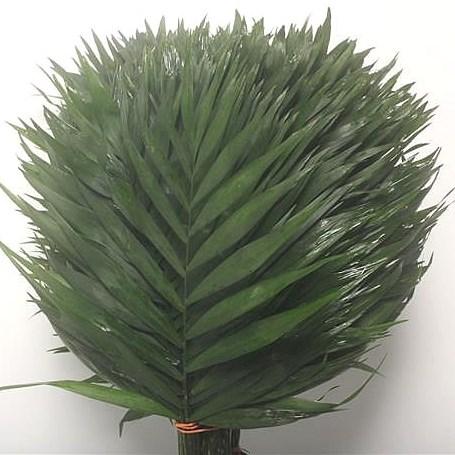 Chicos palm desert