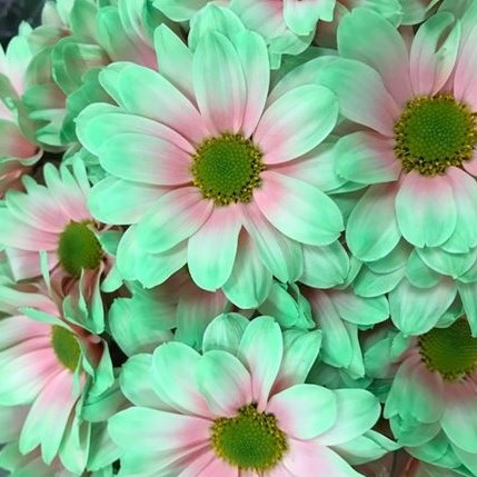 CHRYSANT KENNEDY BUBBLICIOUS PINK-GREEN