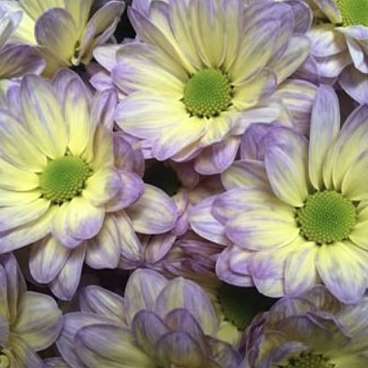 CHRYSANT KENNEDY BUTTERFLY YELLOW--PURPLE