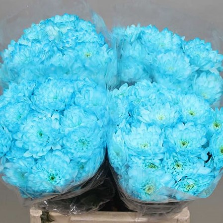 CHRYSANT SPR. EURO DYED LIGHT  BLUE
