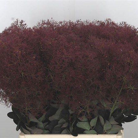 COTINUS MAGICAL RED TORCH