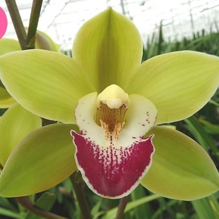 CYMBIDIUM ORCHID APPLE VILLAGE