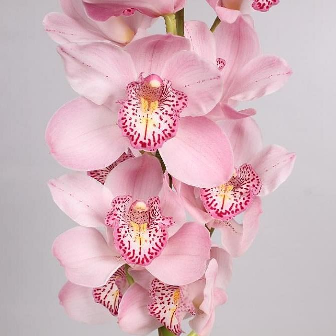From Aalsmeer Auction Cymbidium Orchid Summer Geyser Candy