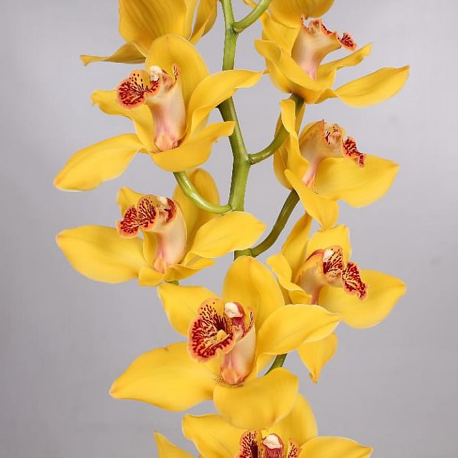 Cymbidium Orchid golden boy nevada