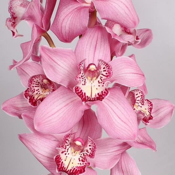 Cymbidium Orchid Pink Floyd 60cm Wholesale Dutch Flowers Florist