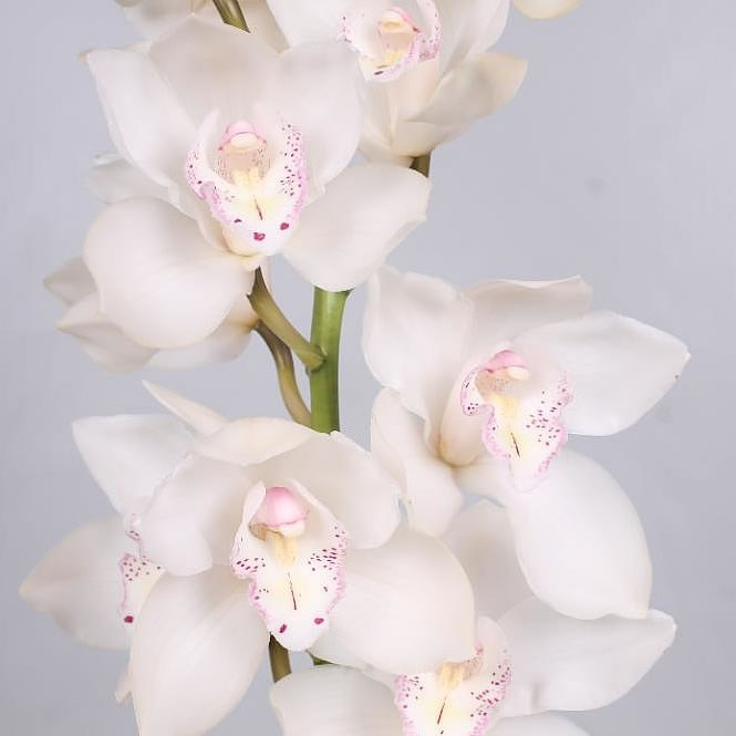CYMBIDIUM ORCHID  SNOW WHITE