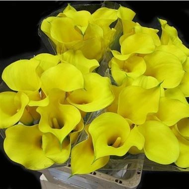 Calla Lily Goldcup
