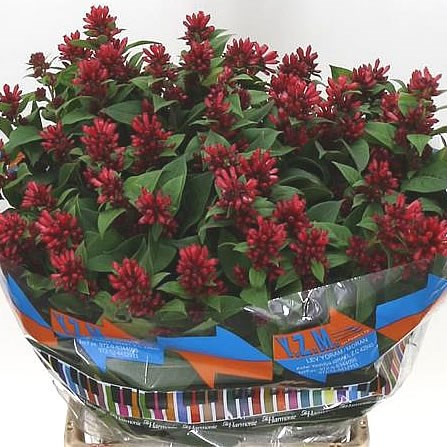 Cestrum Red Zohar