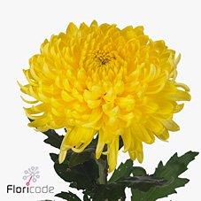 Chrysant sgl. Bislet Yellow