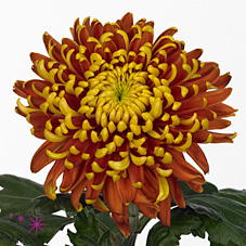 Chrysant sgl. Tom Pearce