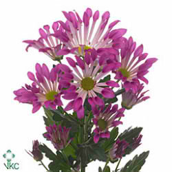 Chrysant spr. dance
