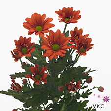 Chrysant spr. Francofone Orange