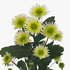 Chrysant spr. Fresh Mint